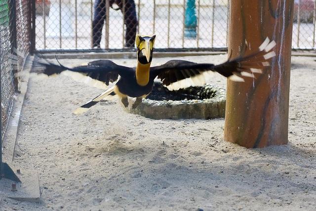 Loài chim Hồng Hoàng là loài chim quý đang trên đà tuyệt chủng.