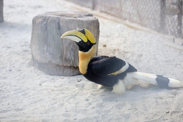 Đôi chim Hồng hoàng quý hiếm ở vườn thú Thủ Lệ - 8