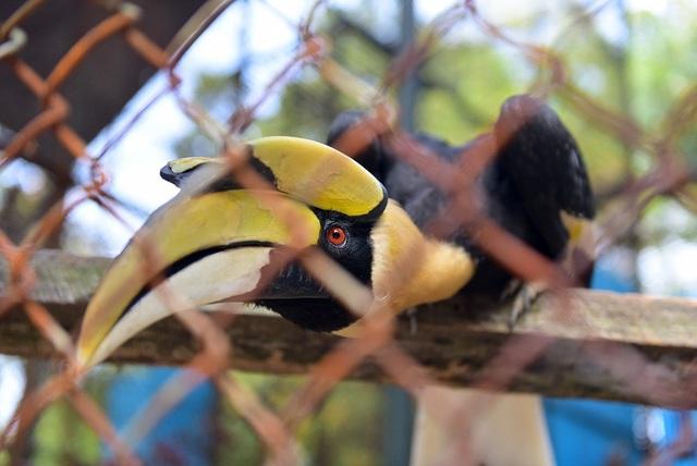 Một số bộ lạc địa phương là nguồn đe dọa đối với Hồng hoàng do họ săn bắt để lấy một số bộ phận khác nhau của chim. Máu của chim non được cho là có tác dụng an ủi đối với những linh hồn quá cố và trước hôn lễ, những người đàn ông của một số bộ lạc tại Ấn Độ sử dụng lông của chúng để làm mũ đội đầu, còn đầu Hồng hoàng cũng hay bị dùng làm vật trang trí.