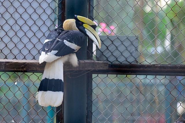 Hồng hoàng mái làm tổ trong lỗ rỗng trên thân các cây lớn và miệng tổ được bịt bằng một lớp trát bằng phân. Nó tự giam mình trong tổ cho tới khi chim non phát triển tương đối, sống nhờ thức ăn do chim trống đưa về thông qua khe nứt ở lớp trát.