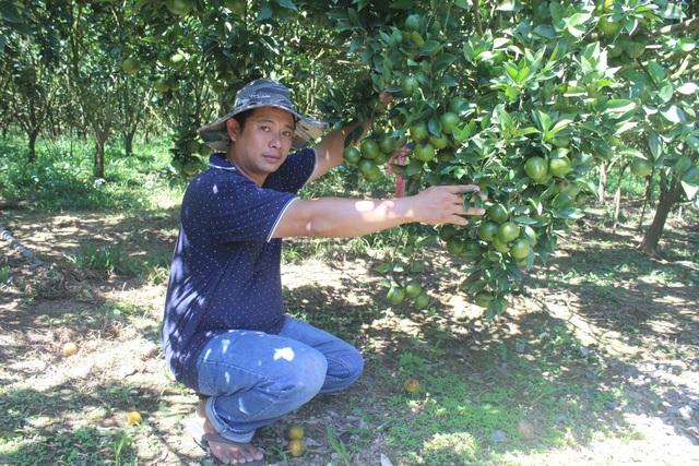 Anh Nguyễn Hoàng Cương bên vườn quýt đường sai trĩu của gia đình mình