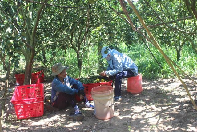 Hiện trong trang trại anh của anh Cường tạo công ăn việc làm cho 15 công nhân lao động thường xuyên và hơn 10 công nhân thời vụ