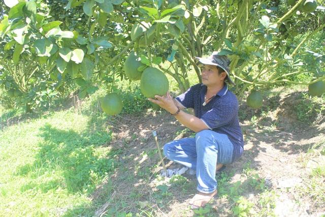 Anh Cường đang chăm sóc vườn bưởi da xanh của gia đình