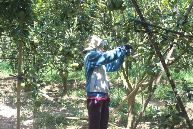 Công nhân đang thu hoạch quýt đường