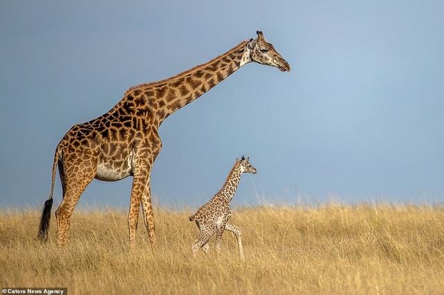 Hươu cao cổ mẹ và con cùng bước đi trên đồng cỏ