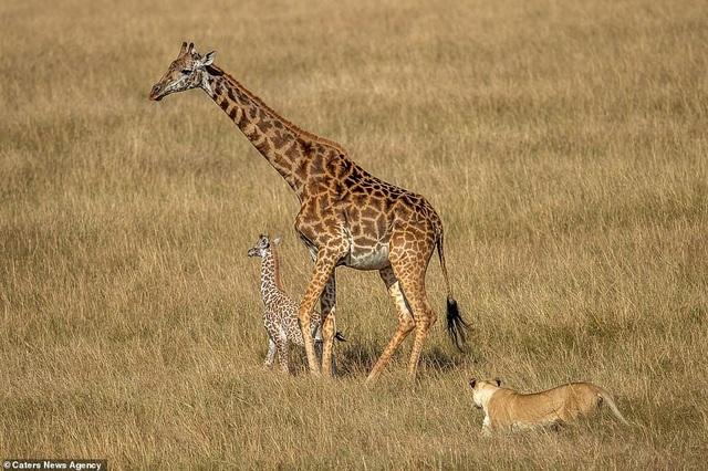 Sư tử âm thầm tiếp cận hai mẹ con hươu cao cổ