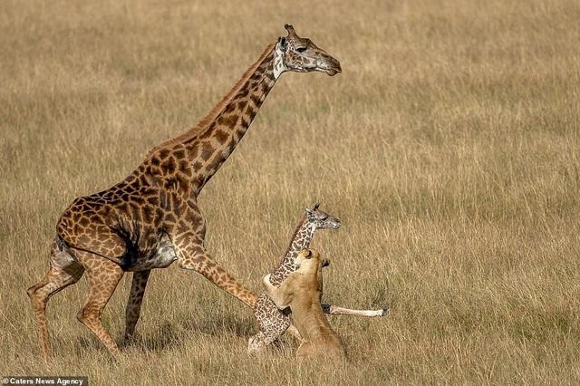 Sư tư lao đến tấn công hươu cao cổ con