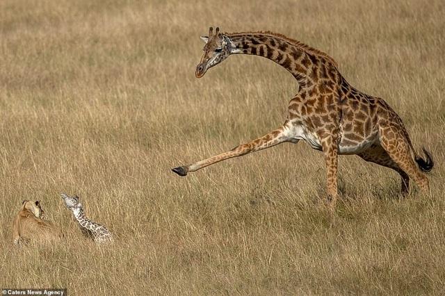 Khoảnh khắc hươu cao cổ mẹ nỗ lực bảo vệ con trước sư tử săn mồi - 5