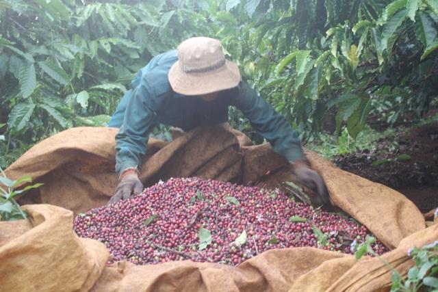 Nghịch lý khiến nông dân rơi vào thảm cảnh khi mất mùa, lại khan hiếm công nhân