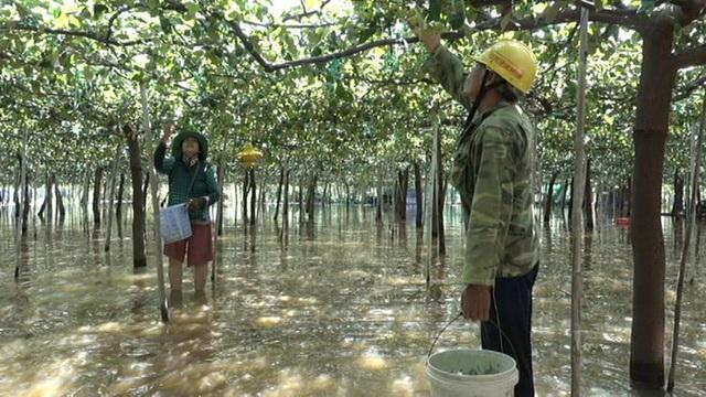 Vợ chồng Nguyễn Cả thu hoạch táo trong giàn táo ngập nước