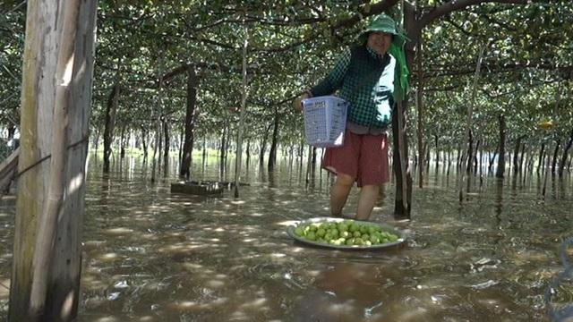 Điều người dân lo lắng là nước ngập quá lâu sẽ làm úng vườn, hư hết bộ rễ cây.