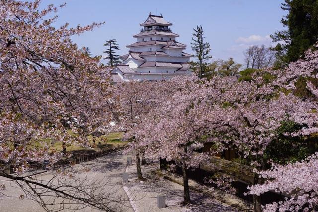 """Thành Hạc trắng Tsurugajo giữa """"rừng"""" hoa anh đào Nhật Bản"""