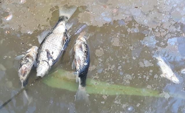 Cá chết rải rác chết tại khu vục suối Đục