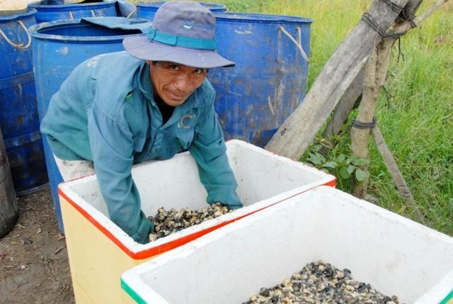 Hiện giá ốc bươu vàng sống người dân bắt bán cho thương lái với giá từ 2.500 -3000 đồng/kg, còn ốc luộc lấy thịt giá từ 15.000 – 17.000 đồng/kg
