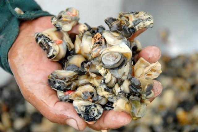 Người ta thường dùng ruột ốc bươu vàng để làm mồi nuôi cá, vịt...