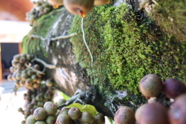 Do cây đã trồng nhiều năm, trên thân có nhiều mảng địa y lớn