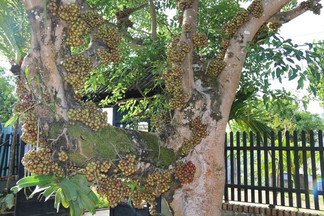 Từ thân cây lên đến ngọn mọc rất nhiều trái, các đợt trái nối tiếp nhau ra quanh năm