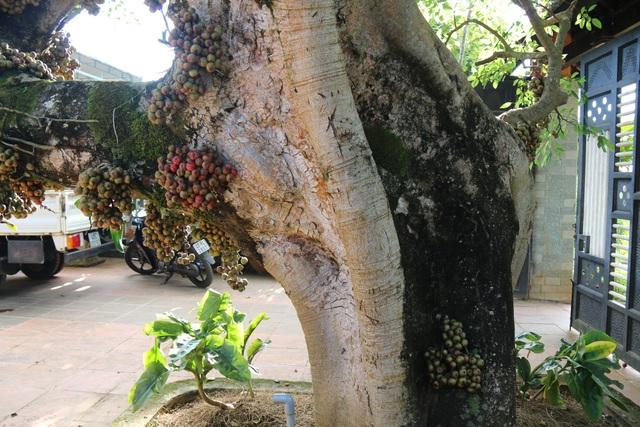 Hình dáng cây hoàn toàn tự nhiên, không có tác động của con người