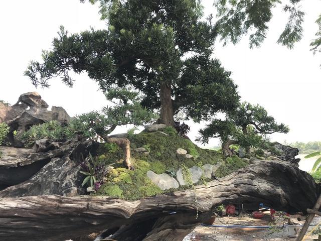 7 cây vạn niên tùng được dựng trên 1 khúc thân cây