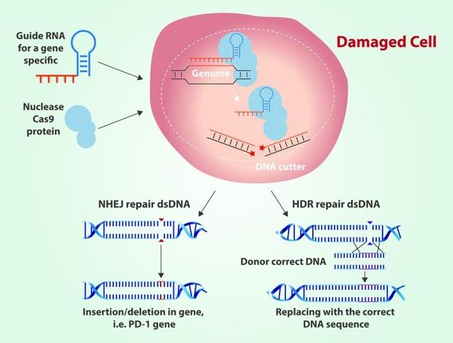 Chỉnh sửa gene với CRISPR: Hứa hẹn và nguy cơ - 2