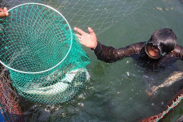 Đây là năm thứ 2 liên tiếp người nuôi cá bớp ở đảo Lý Sơn bị thiệt hại nặng