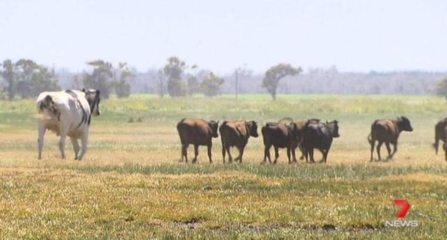 Khi đứng, chú bò cao tới 6 feet 4 inches (hơn 1m93) và nặng bằng một chiếc xe ô tô con loại 2 khoang