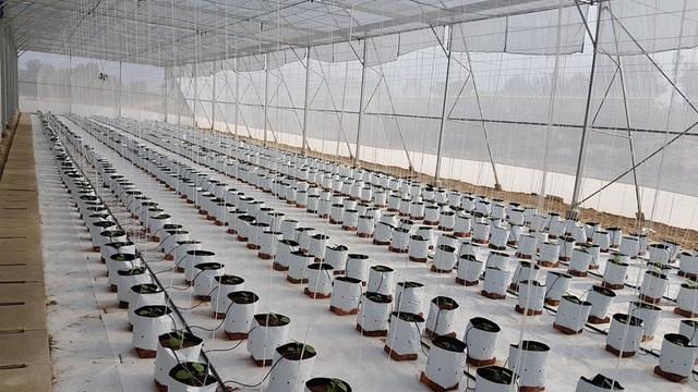 Vườn dưa lưới đang phát triển