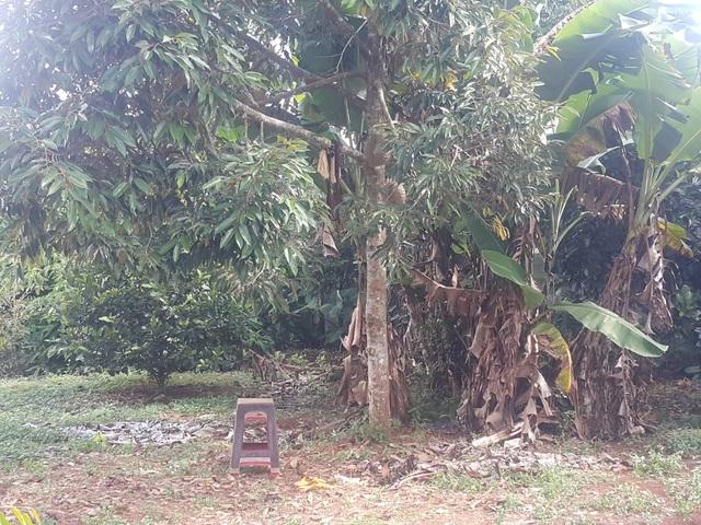 Cây sầu riêng nơi ông Sơn được phát hiện trong tư thế treo cổ