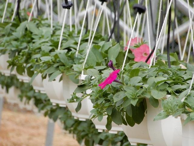 Mỗi chậu hoa được bán với gia 40 ngàn đồng