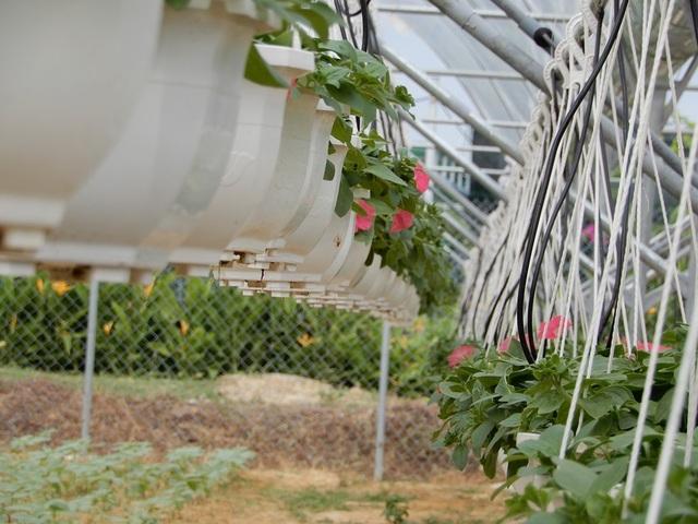 Với việc trồng gối đầu, anh Quốc có hoa bán hàng ngày