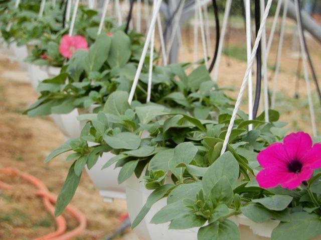 Hoa được trồng trong nhà kính nên sinh trưởng tốt