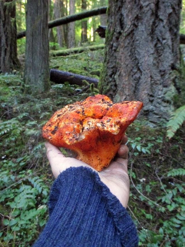 """Loại Mốc đặc biệt có khả năng biến các cây nấm thành """"thịt tôm hùm"""" - 3"""