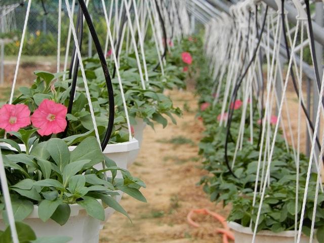 Hoa được các thương lái đến tận vườn thu mua