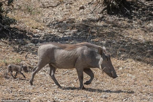 Mọi nguy hiểm tưởng chừng đã trôi qua với hai mẹ con lợn rừng