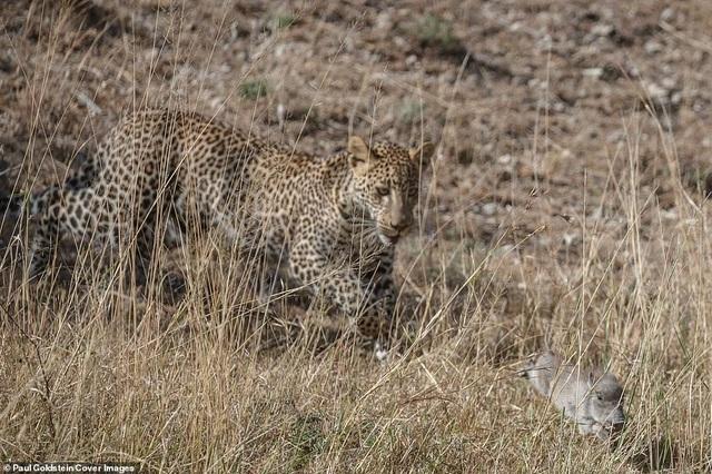 Khi bị lợn rừng mẹ tấn công đáp trả, con báo đã làm rơi con mồi...