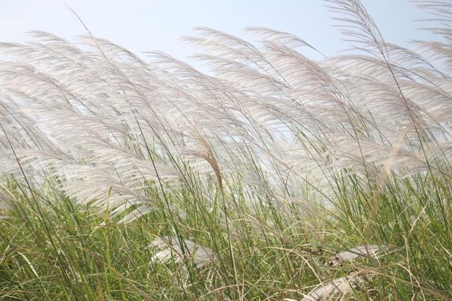 Quảng Ngãi: Cánh đồng hoa lau trắng như mây giữa dòng Trà Khúc - 4