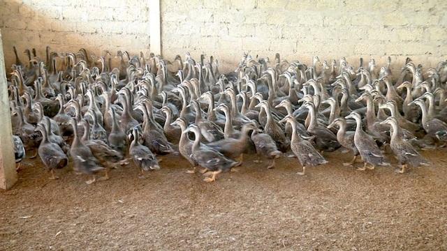 Đàn vịt trời gia đinh anh Trần Công Sơn xóm 13 Thanh Mỹ phát triển nhanh.