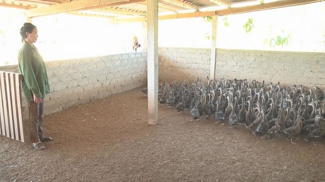 Hiện nay gia trung bình mỗi con vịt trời thịt có giá từ 250.000/con.