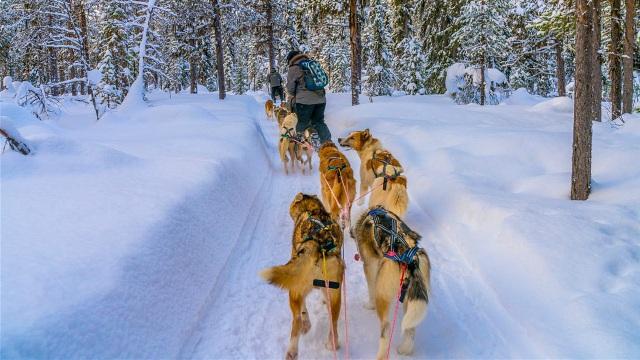 Khám phá rừng thông với dịch vụ chó kéo xe - Ảnh: Lonelyplanet