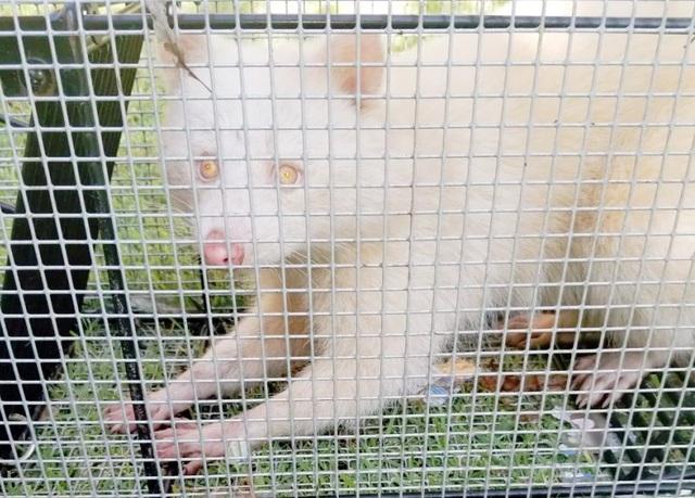 Con gấu mèo bạch tạng vừa được bắt tại Mỹ.
