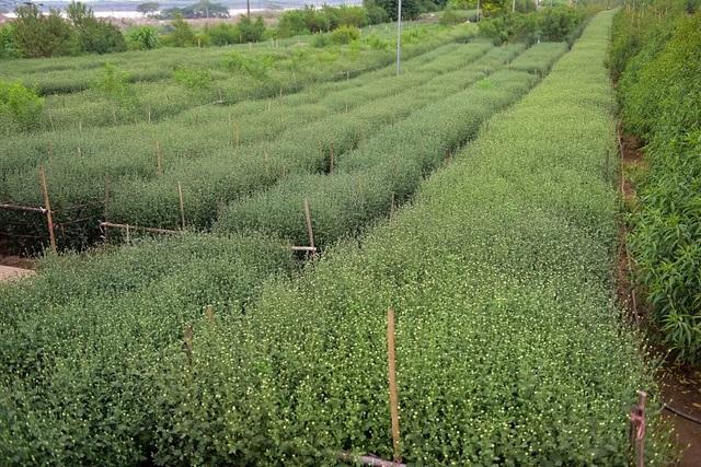 Những cánh đồng cúc họa mi chúm chím nụ, hứa hẹn một mùa bội thu