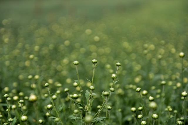 Để cúc họa mi nở rộ đúng mùa, người dân phải bắt đầu ươm mầm từ tháng 4 Âm lịch, sau 6 tháng là hoa bắt đầu bung nở.