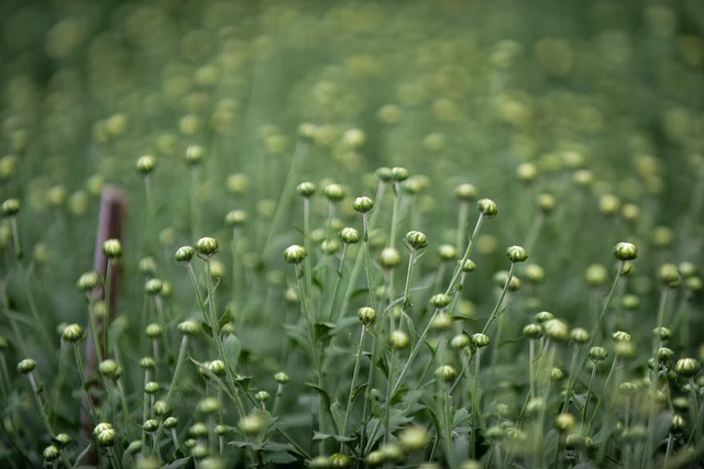 Trước đây cúc họa mi chỉ là loài hoa dại, ít người để ý. Tuy nhiên khi thấy nhiều người tìm mua, thậm chí nô nức kéo đến vườn cúc họa mi để chụp ảnh tự phát thì người dân mới chú ý mở rộng diện tích trồng, chăm sóc.