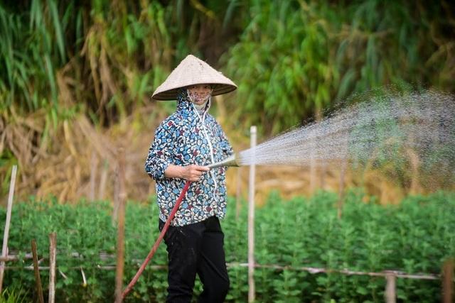 Những người trồng hoa ở Nhật Tân cho biết, mùa cúc họa mi ngắn nhưng giá bán cao, việc chăm sóc đơn giản nên lãi hơn nhiều so với trồng các cây hoa màu khác.