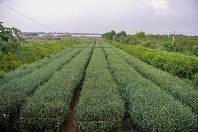 Mấy năm gần đây, cúc họa mi được người dân Hà Nội ưa chuộng mỗi khi vào mùa. Loại hoa này được trồng nhiều ở vườn hoa Nhật Tân, Quảng Bá…