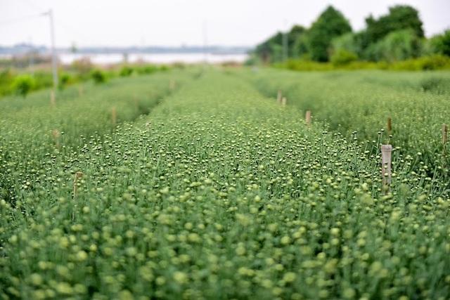 Theo người trồng hoa, dự kiến khoảng 1-2 tuần nữa, sẽ bước vào vụ thu hoạch cúc họa mi.