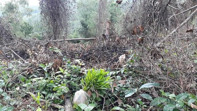 Những cây giống được người dân đưa vào trồng khu vực vừa xâm lấn.
