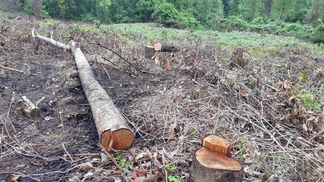 Những cây gỗ tràm lớn bị đốn hạ chỉ để trồng mới.