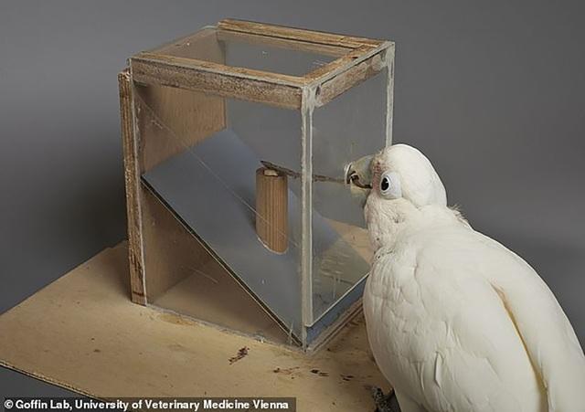 Những con vẹt mào có trí thông minh đặc biệt.