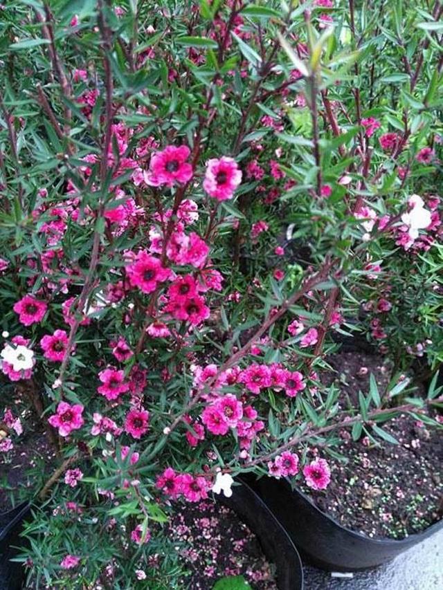 Hoa của loại cây này có mùi thơm rất ngọt ngào